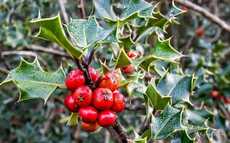 Holly shrub
