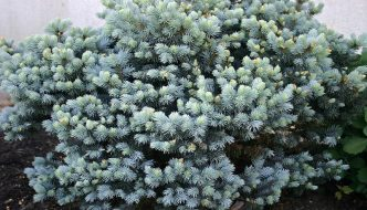 Best Evergreen Shrubs for the Front of the House