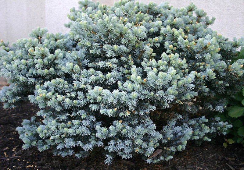 Best Evergreen Shrubs For The Front Of The House Simply