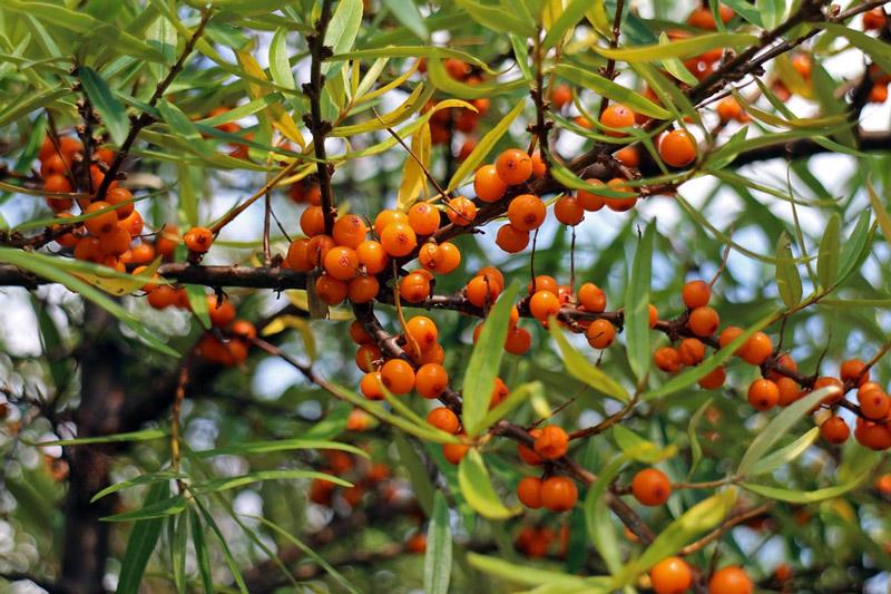 Sea buckthorn evergreen bush