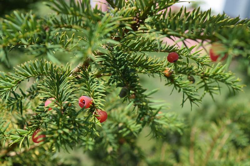 Yew shrub